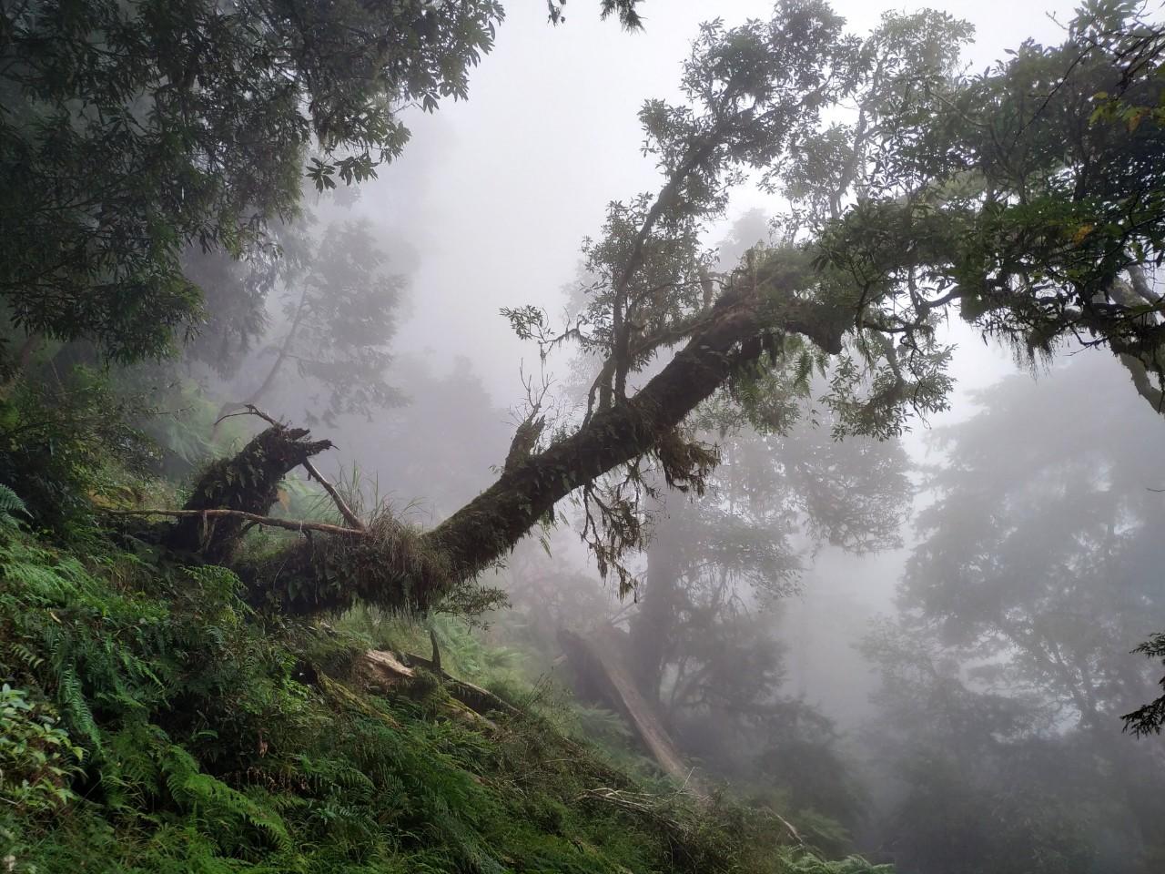 「不怕死」的練習─巨大神木的教導 九月初,我們一家四口去了一趟宜蘭,這一次先生行程安排,是到「棲蘭」看神木,有機會度假就是往深山裡跑,孩子也習慣了,而且炎熱的夏天到山裡去,也確實會涼快很多呢。 當初先生會選擇去棲蘭(馬告生態園區),是因為那裡的神木數量,非常龐大(一共有五十多棵),大老遠去一趟,可以看到數量多一點的神木,才能有種賺到、不吃虧、回本的感覺,這種很想吃很飽的心態有點好笑,不過我是真的很喜歡巨大的樹,所以出發前我也沒先做任何功課,反正就傻傻的聽從先生的安排,往山裡去了。 要到馬告生態園區看大樹,不是隨時想去就能去的,因為必須先上網報名、預約,並且得到指定的地點,搭園區規劃的接駁車,接駁車是20人坐的小巴士,車程約快一個小時,這一個小時當中,大概有半小時,車子是走在算顛簸的石子小路上,我其實很佩服那些不算新的小巴士,可以禁得起石子路的顛簸而沒有解體,當然司機的技術也是有練過的,所以才能把大家,平安的載上去,又平安的載下來呢。 到馬告看神木,還有另一項特別的規劃,就是會有導覽人員,因為在山上停留的時間,大概約二個半小時,有導覽人員帶領著,會比較好掌握人及時間~導覽員一共有二位,一男一女,看神木的路線也有二條,一條比較短,輕鬆走的,一條比較長,需花點力氣才能完成。當然比較長的那條,可以看到最完整的神木群,二條路線,都是二個小時走完。 導覽員讓大家自由選擇,看想走輕鬆還是稍加困難,女兒的眼神透露出想走簡單的就好,不過因為前一天到太平山搭高山火車時,見識到了遊客隨時、隨地都要瘋狂拍照的情形,我告訴女兒~如果走簡單路線,除了神木看到的少,還會看到一堆人擺各種姿勢猛拍照,這樣妳們受的了嗎?媽媽我是絕對受不了,所以我們還是走人比較少的路線,雖然得多走些路,但神木應該不會讓我們失望的,唉啊~女兒在野蠻母親的決定下,就算心裡不是太願意,也只好走了…… 帶領我們的是~女導遊,因為路程比較遠,所以在腳程上就得走快一些,雖然如此,她對關於神木的解說,還是非常詳細的。馬告的神木群,跟我以前去看過的神木(拉拉山、阿里山)有挺大的不同,其實應該是說~以前去看,都沒有人解說,所以我只能以外行人看熱鬧的心態,看到我能看到的~當有人解說時,能看到的點,就不太一樣了。 在導覽員的解說之下,我才知道馬告山上的神木,有些是因為〞不夠完美〞或是木頭的中心中空,所以才逃過了被砍伐的命運(因為沒有很高的經濟價值),可以被稱的上是神木等級的樹,都有名字~是根據它們的樹齡去推斷,找出符合東、西方名人符合的出生年代,所以有孔子、有佛陀、有武則天、有楊貴妃、有耶穌、有成吉司汗、諸葛亮……,這樣的命名好像還蠻有趣的,不過對於我而言,哪棵樹叫什麼名字,我是完全連結不起來啦! 因為選擇走比較長的路程,所以可以看到更多的神木,比較特別的是~有挺多的神木是死掉的~死掉的原因,有些是自然死的,絕大部份是因為颱風的關係,有的因山壁崩塌,整棵倒下,有的被強大的風力整個扭斷,像名叫楊貴妃的大樹,本來站在山頂上,結果一場風災,它就往山的另一頭掉下去了,所以楊貴妃連個影子都沒讓我們瞧見呢。 死掉的神木令人婉惜,不過它們的死,卻也讓陽光因此進的來了~導覽員說,她曾經問過五年前曾到過山上的遊客,請他說出五年前和五年後看見的不同(神木死掉的地方),那位遊客只回答了三個字,就是「變亮了」~沒錯,神木倒下後,陽光進來了,也因此在那個地方,有些長的小的樹,開始有機會接收著陽光而長大,有些在土地裡的種子,也因著大樹的讓位,而有機會發芽~至於倒下的神木,它們不會立即的被蟲蛀,因為它們有芬多精的保護~蛀蟲不喜歡芬多精的味道,不過倒是會有些種子,會在它們的身上發芽,而形成了不同的生態,開始另一種的生生不息。 本來覺得大老遠跑去,看到的卻是一些死掉的神木,有點掃興,不過後來又想~死掉的神木,對人會不會也是一種教導呢?我們會在那個最適當的時間點相遇,應該都不會是偶然,只是當下我可能還搞不清楚,或許有那麼一天,我就會明白了。結束旅程後,我就在想~那樣多的神木「勇敢死去」、「不害怕的死去」~是不是因為現在的人太害怕(死)了,所以神木才會為著人勇敢的示範著~總之我確實是一個會想很多的人,不過還能有點能力想很多,我自己倒也還蠻高興的。 前幾天一位客人來書店找我,她覺得剛上了小一的兒子變得很奇怪,她不知道孩子怎麼了,為什麼情緒一來,變得那樣難以親近,難以溝通,她的束手無策讓她想起了「故事」或許可以敲開孩子的心,所以她來找我。 我先跟媽媽聊一聊,大概了解一下她兒子的生活狀態~除了學校的學習,加上課後的才藝課程,我覺得孩子應該是超出他的能力負荷,所以造成他情緒上的失控(火山爆發)~我建議媽媽,減少孩子的課程,不過這並不是件容易說服別人的事,我問她~為什麼孩子一定得學那麼多,是怕孩子未來不夠優秀嗎?人為什麼一定要優秀?明明很多優秀的人